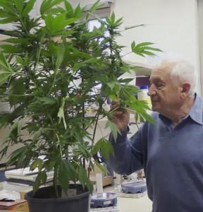 Prof.-dr.-Rapaheal-Mechoulam-ruikt-aan-cannabisplant-288x300